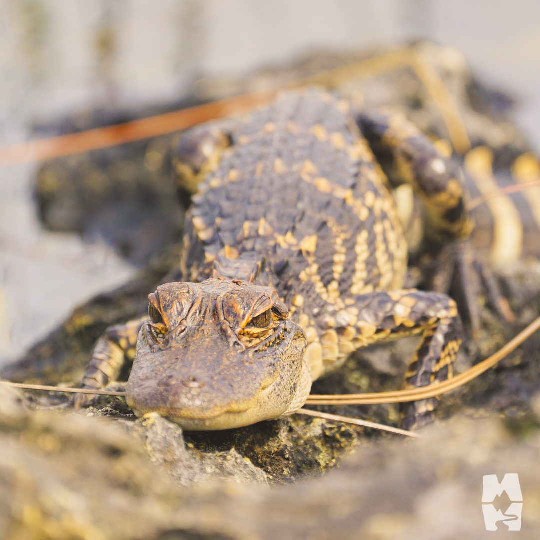 Baby American alligator resting near the water in Everglades National park