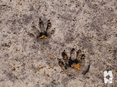 two Raccoon tracks in the sand outside of Charleston South Carolina