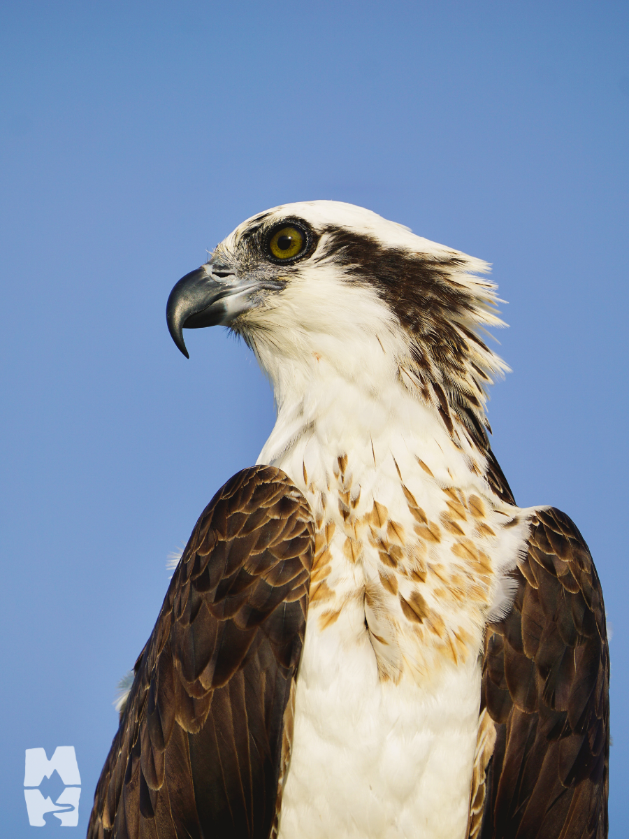 Adult osprey perched in everglades national park