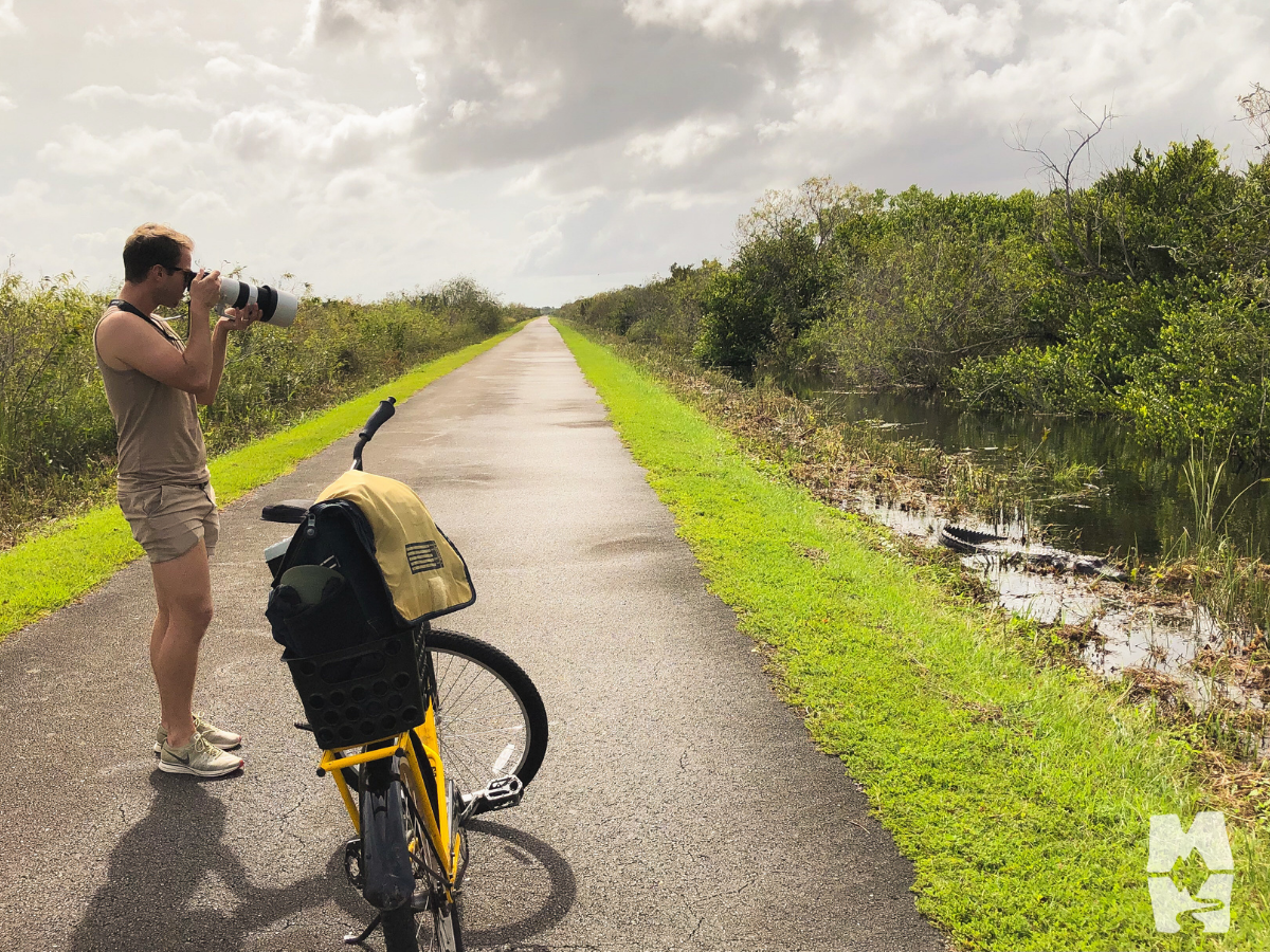 photographing a large American alligator from the Shark Valley bike trail, Everglades National Park