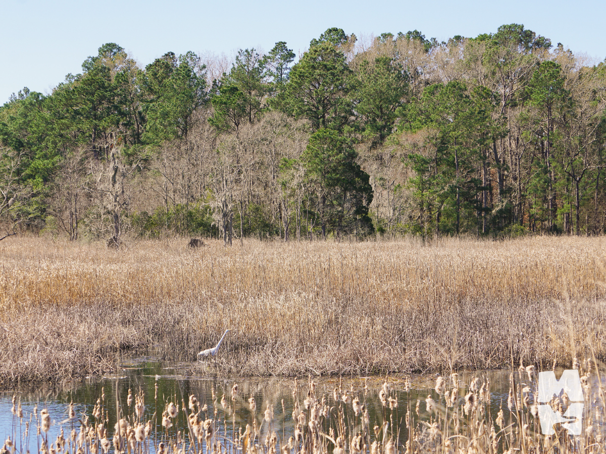 nature wetland view with an egret fishing in the reeds