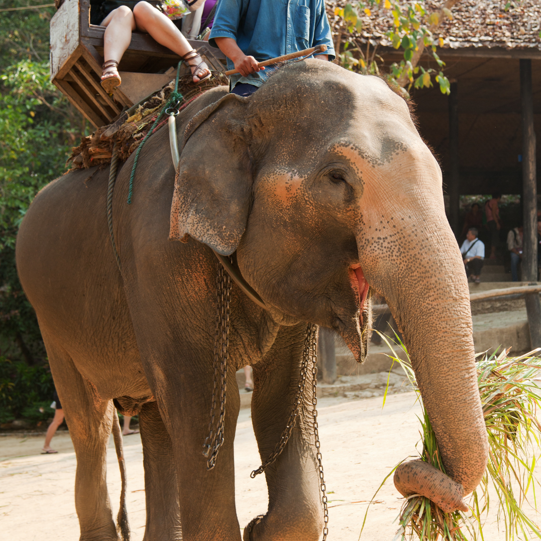 tourists atop an abused elephant used for riding