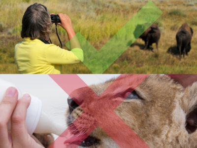 women looking at bison from a distance vs bottle feeding a lion cub