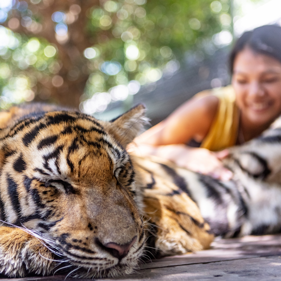 Tourist posing with a sleeping tiger for a wildlife selfie