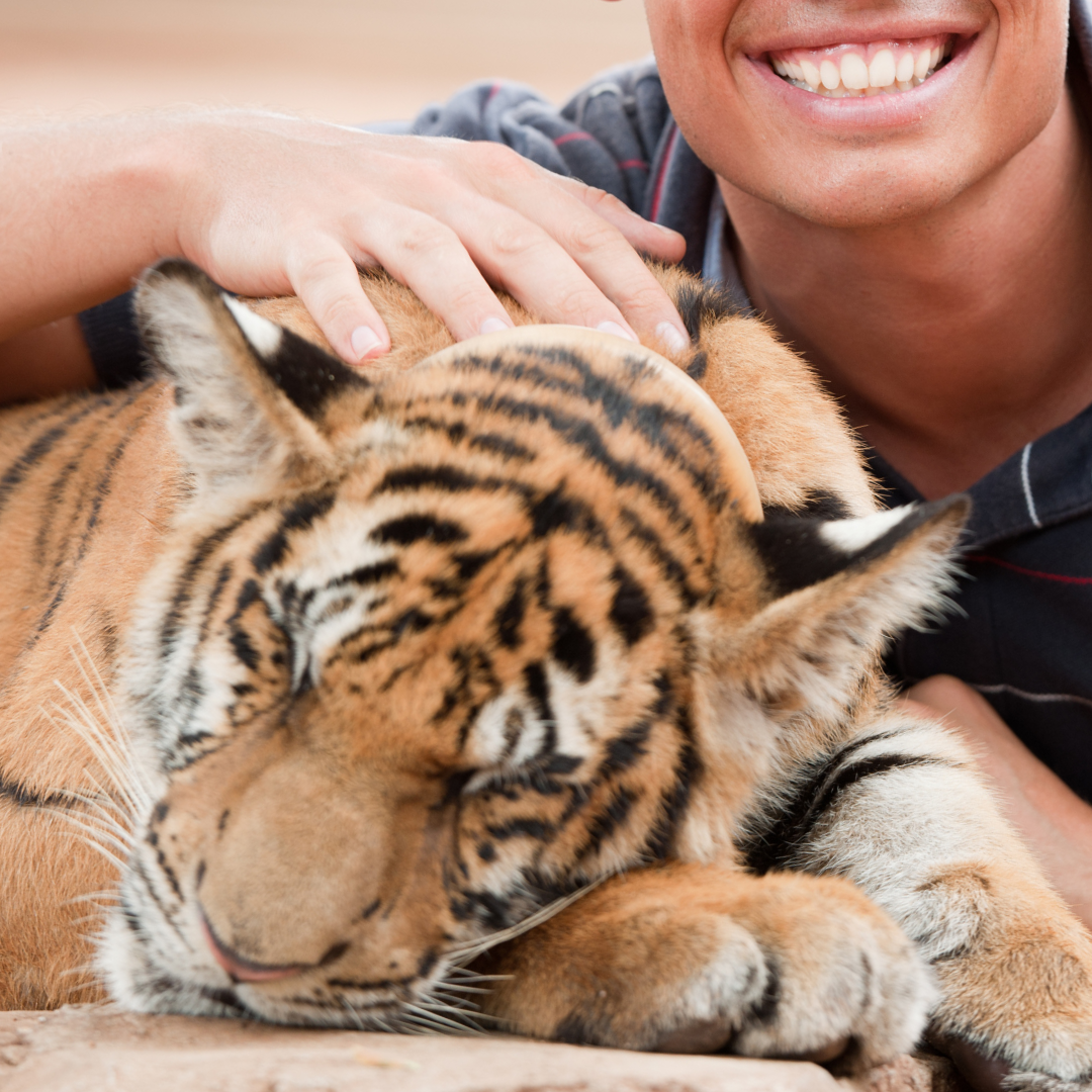 chained sleeping tiger cub forced to pose for photos with paying tourists