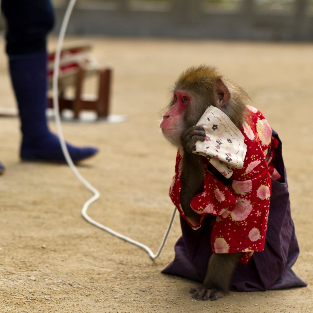 chained monkey dressed up to attract paying tourists