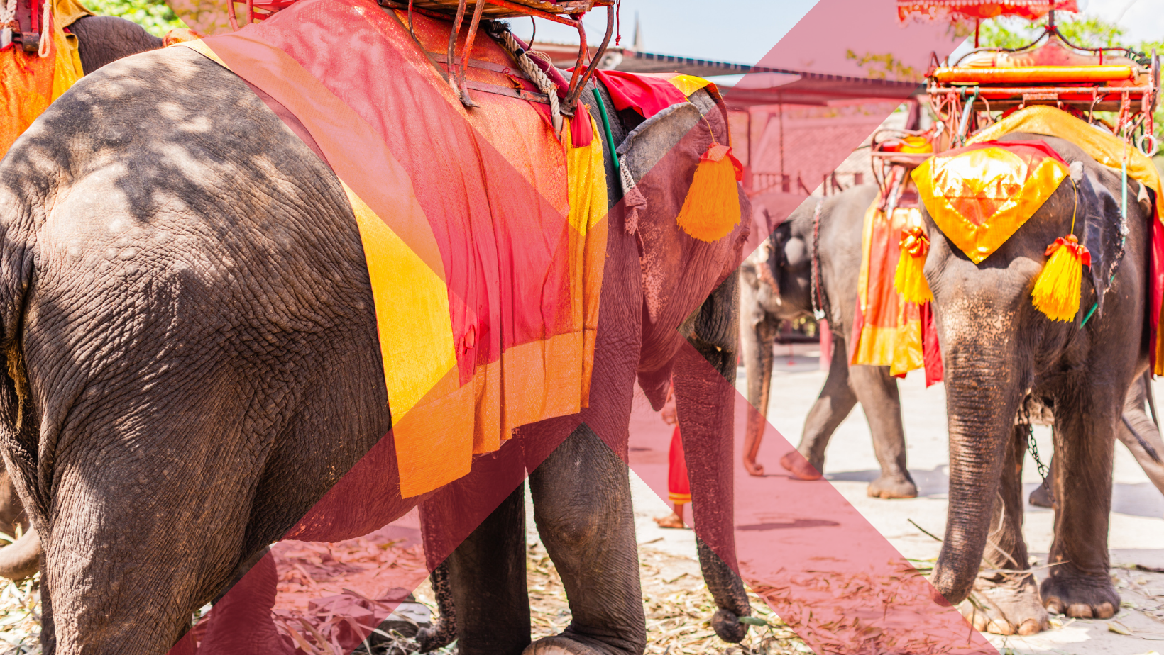 Elephants used for cruel riding operations for paying tourists.