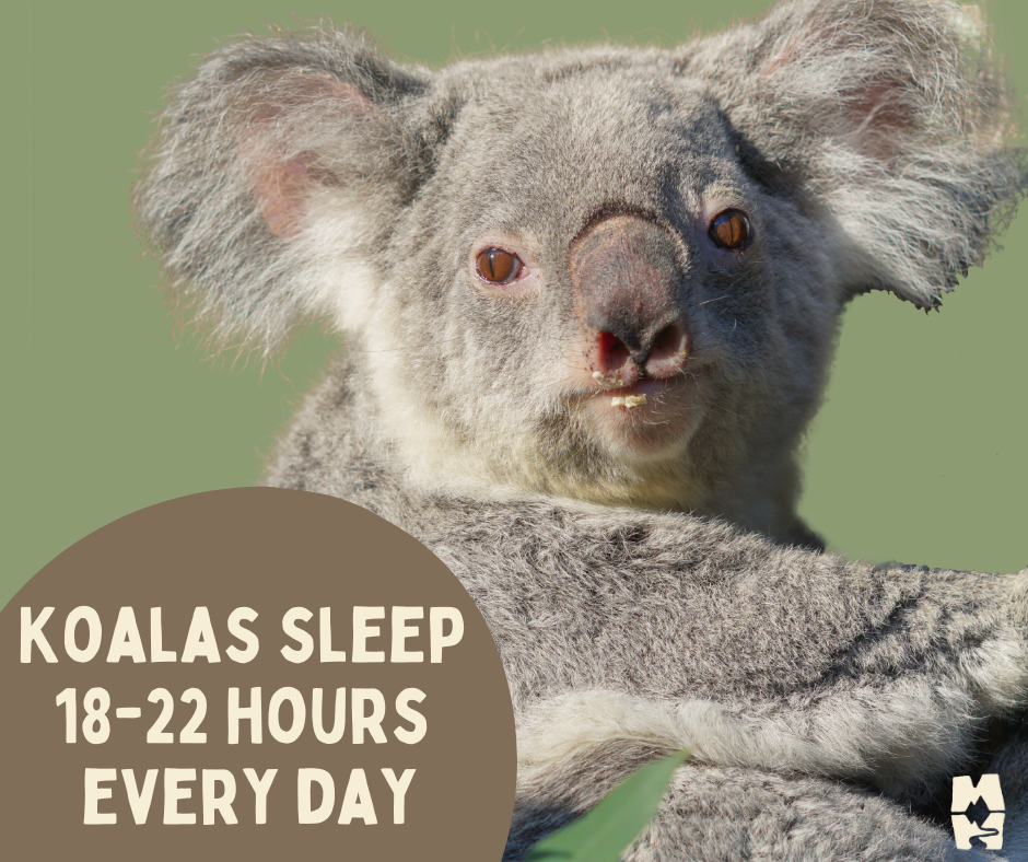 Koalas sleep 18-22 hours each day to aid in digestion and conserve needed energy.