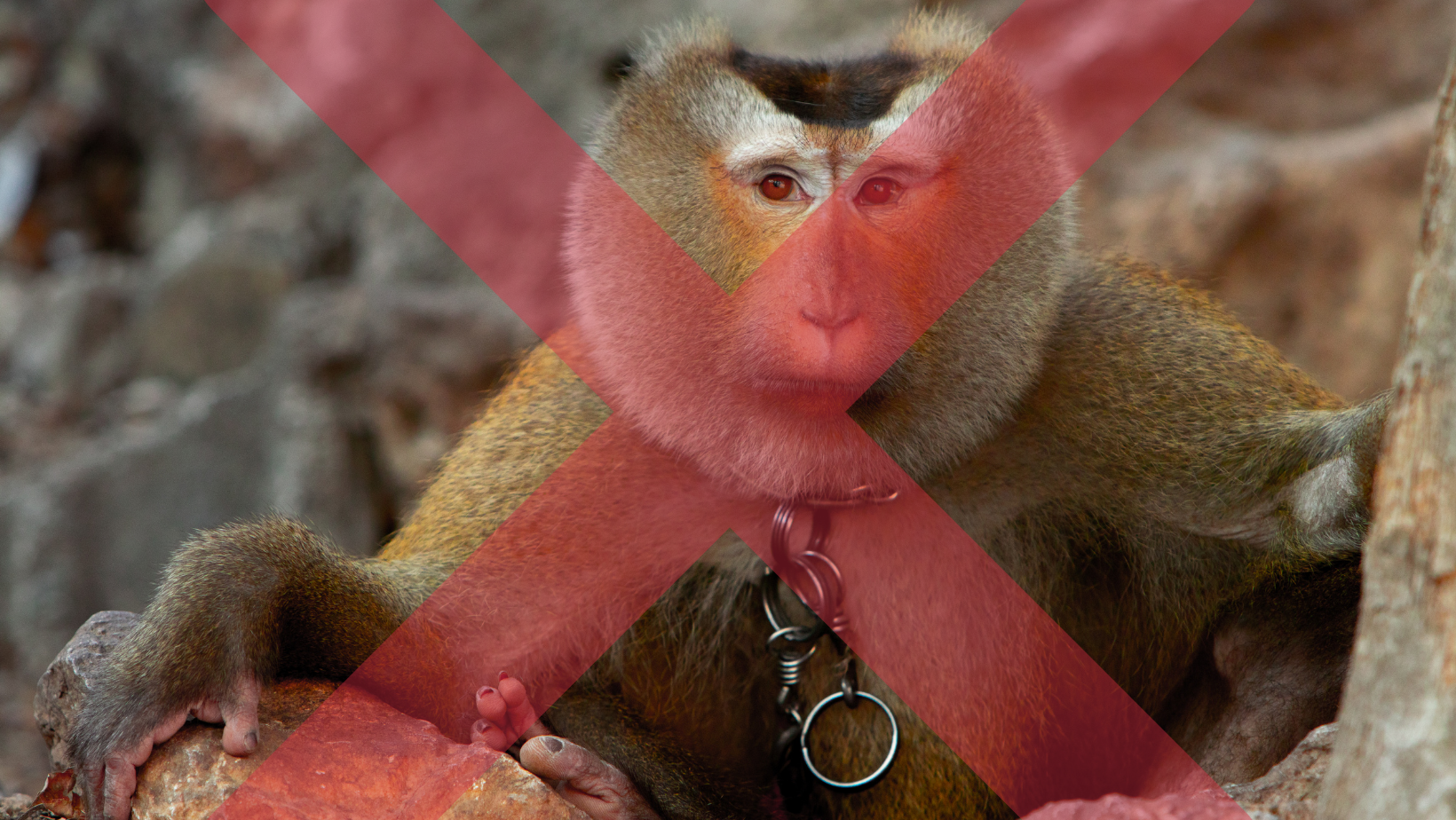 Chained monkey looking at the camera with a red x through the photo
