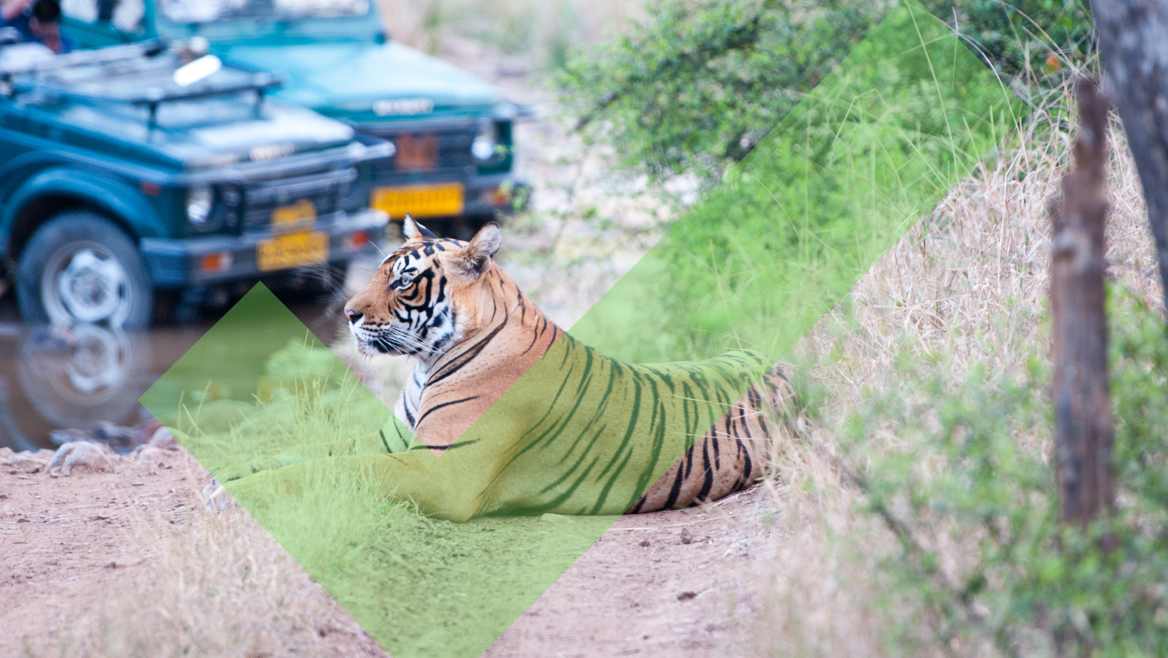 Tiger laying down being viewed from safari jeeps in India