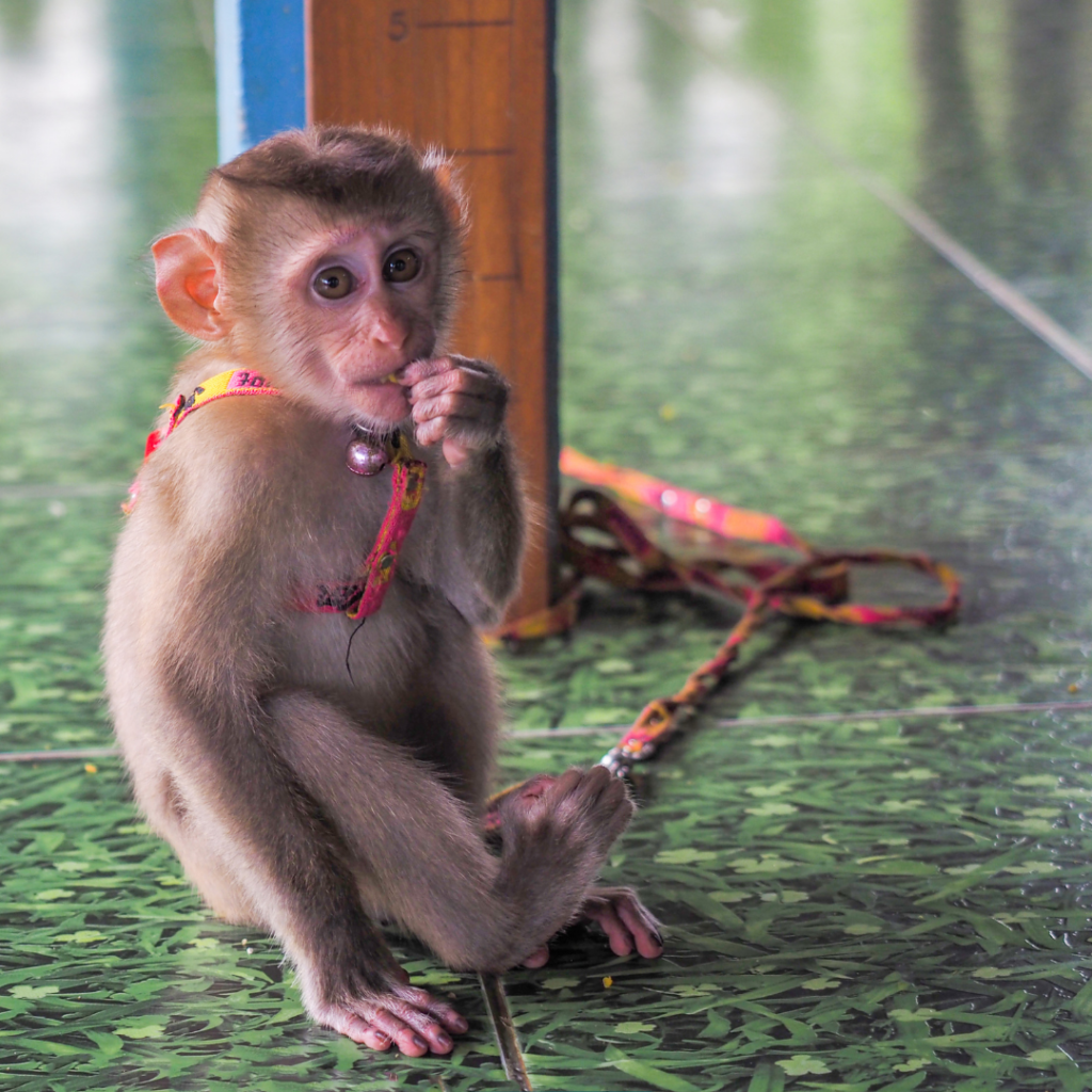Tethered young monkey used to attract paying tourists.