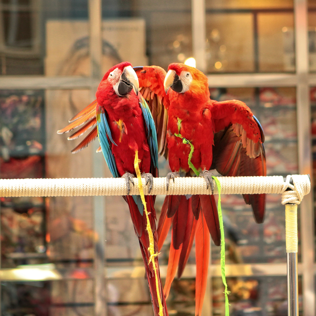 leashed macaws used as photo props on the street