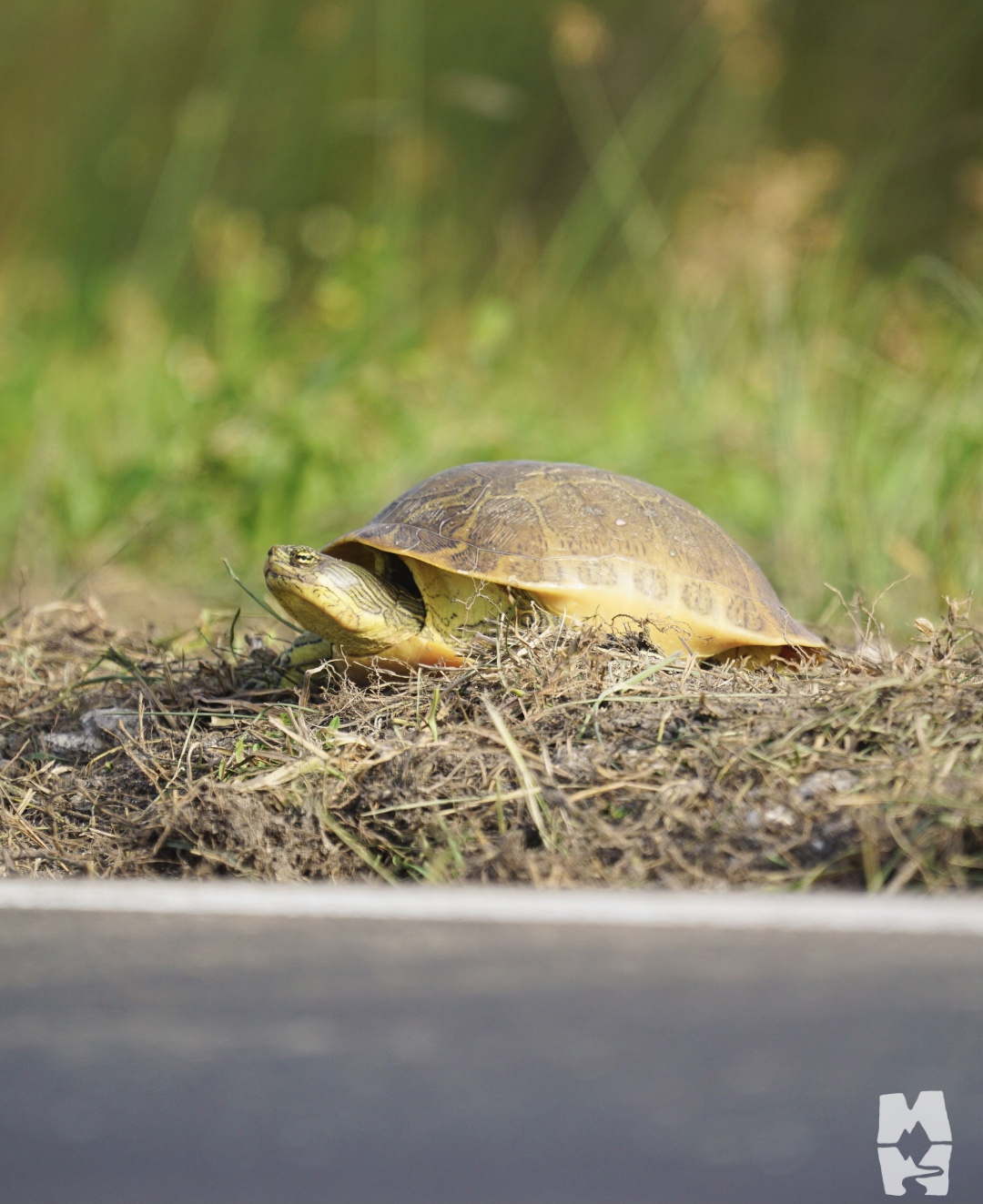 turtle near the edge of a busy road