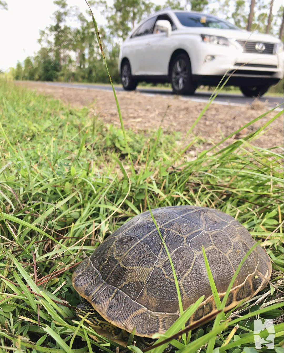 helping a turtle cross the road