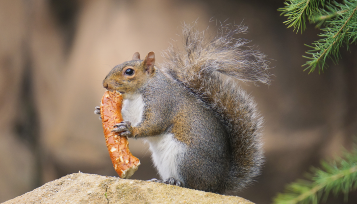 squirrel eating a pretzel