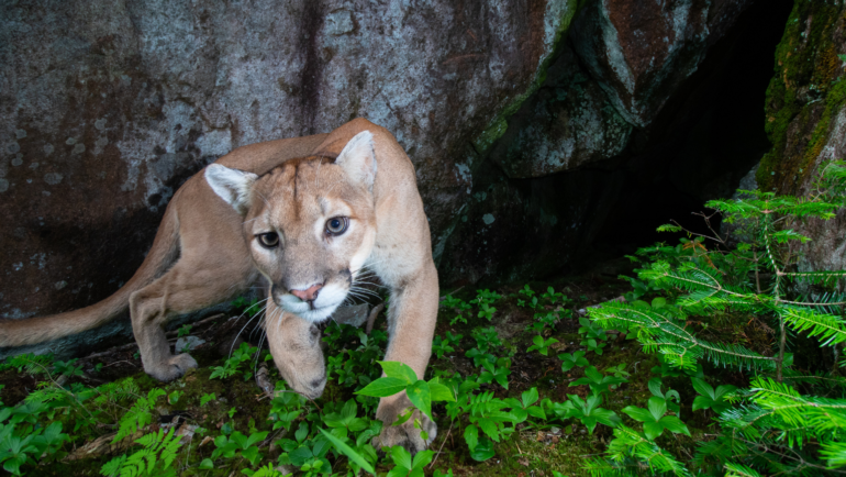 Adult mountain lion or puma caught in a camera trap in Minnesota