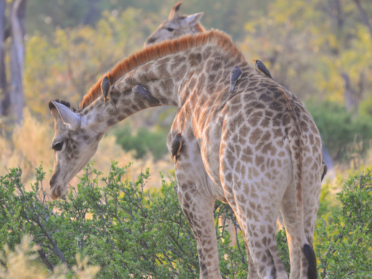 Southern giraffe with oxpeckers