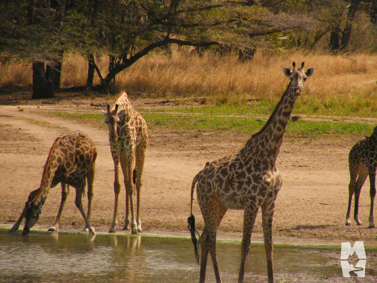 herd of giraffe at the water hole