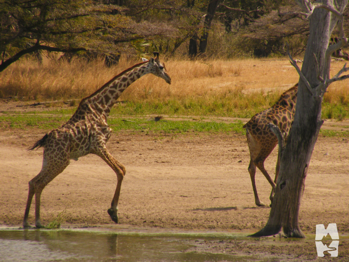 two giraffes running from the water's edge