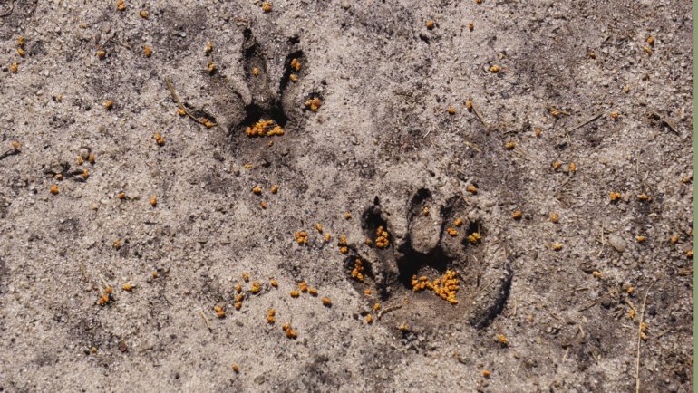 Two little raccoon tracks left in the dried mud at Caw Caw Interpretive Center.