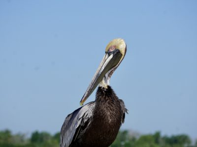 brown pelican resting on the beach