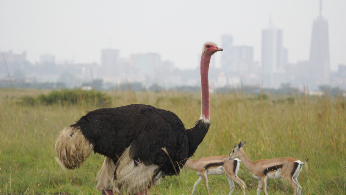 Iconic Nairobi National Park with ostrich and gazelle and the cityscape